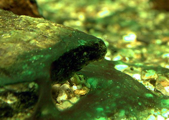 Brunalger i akvarium