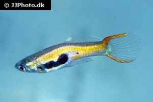 Poecilia wingei (Red Scarlet Endlers Guppy)