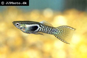 Poecilia wingei (Tiger Endlers Guppy)