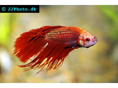 Betta splendens (Kampfisk Crowntail) Han